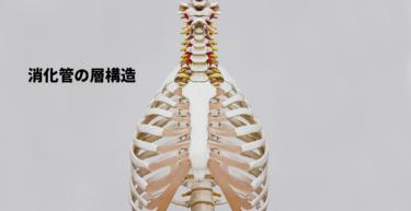 【腹部超音波検査】消化管の層構造を解析しよう。【初心者向け】