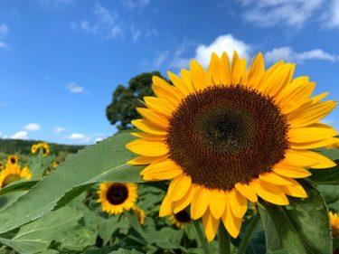 【ヒマワリ】鹿児島で夏を感じるなら都市農業センターがオススメ!写真アリ!