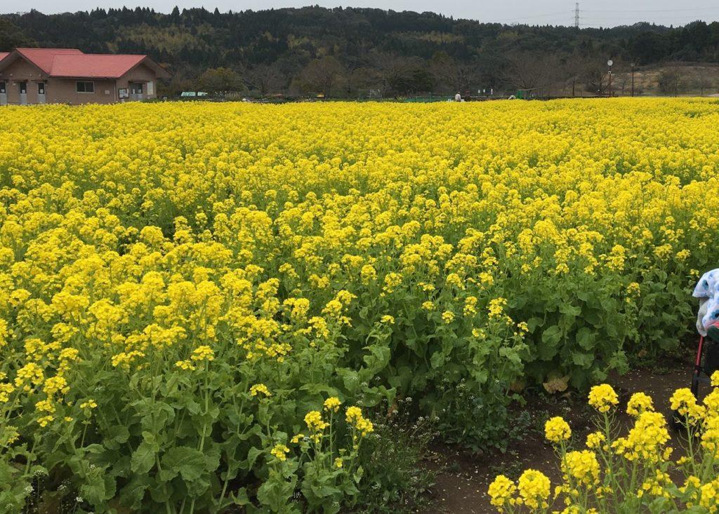 都市農業センター 菜の花